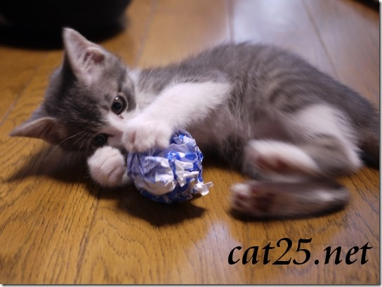 Kitten VS King crab $ 10 at a bargain price、980円のタラバガニ対子猫のミャミ雄君